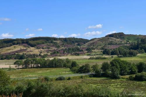 Die Heide blüht auf den Hügeln