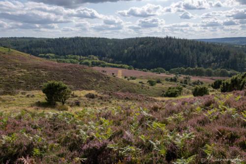Dänemark im September - blühende Heide in Rebild Bakker