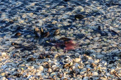 Unzählige Muscheln im Limfjord