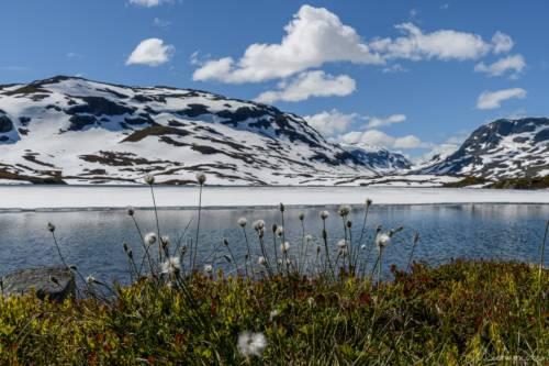Norwegen Wollgras Schnee